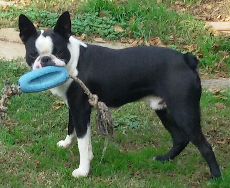 Barney - Boston Terrier Maschio