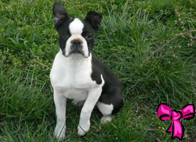 boston terrier - femmina